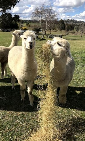 Clearview Alpacas - tourismnoosa.com