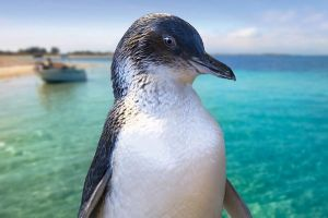 Full-Day Penguin Island  Fremantle Town - tourismnoosa.com